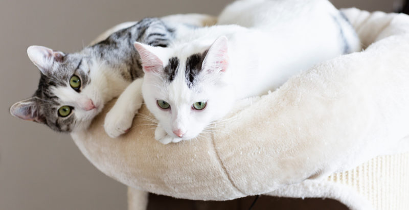 How To Introduce A New Cat To Your Cat: A Step-By-Step Guide
