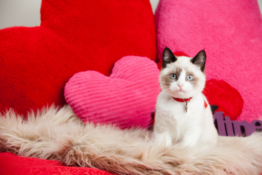 beige cat looking at camera sitting on heart shaped pillow for the article 5 ways to spoil your cat this Valentines Day.
