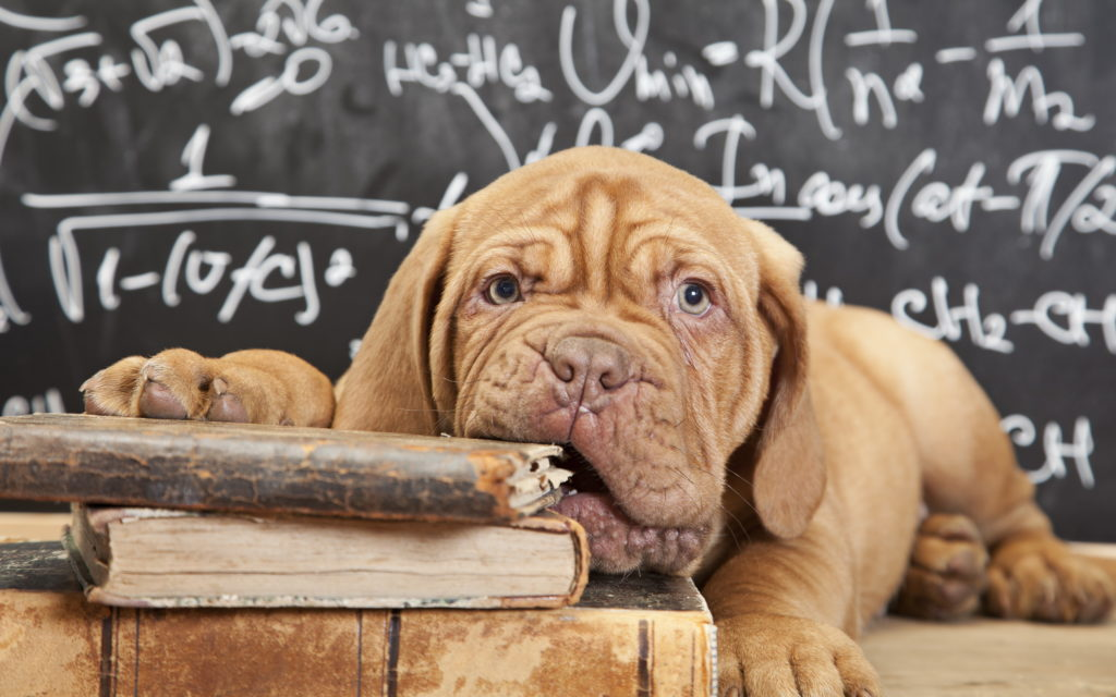 a brown puppy nibbling on old books creating the impression he is bored.