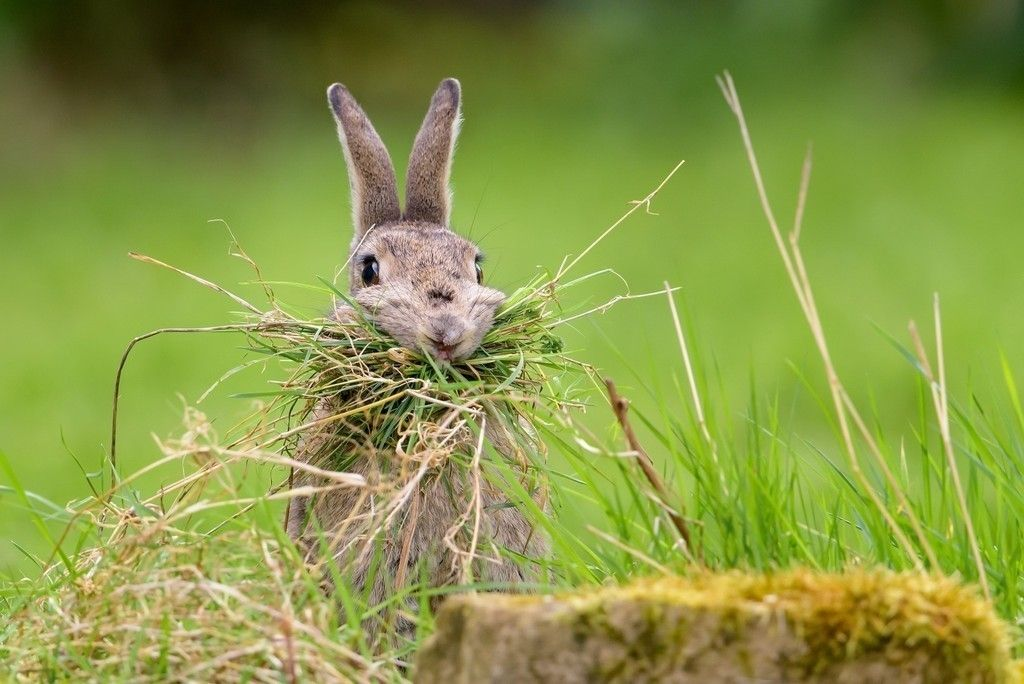 A rabbit enjoying a mouthful of hay for the article what should I feed my small pet ...