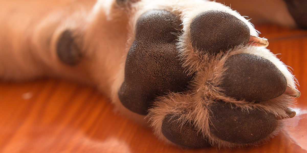 Cracked Paws, Crusty Noses And Calloused Elbows In Dogs Explained