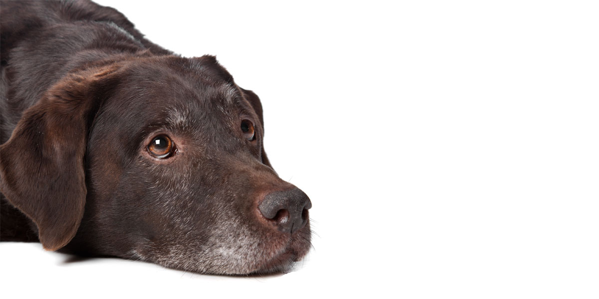 Joint Pain And Arthritis In Pets